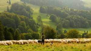 sheep, farmer, shepherd